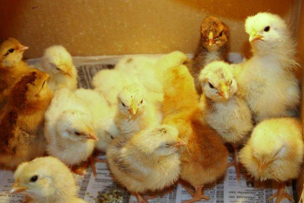Правильное содержание недавно вылупившихся цыплят бройлеров