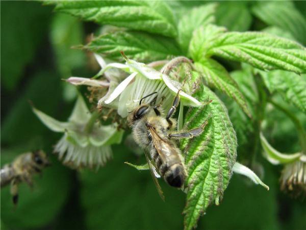 Цветок малины с пчелой