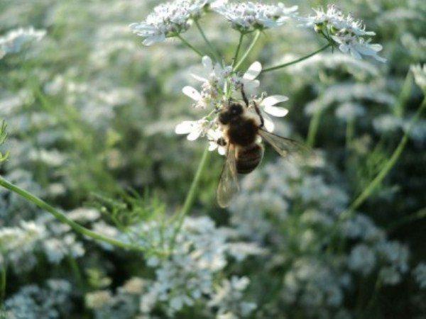 На цветке кориандра пчела