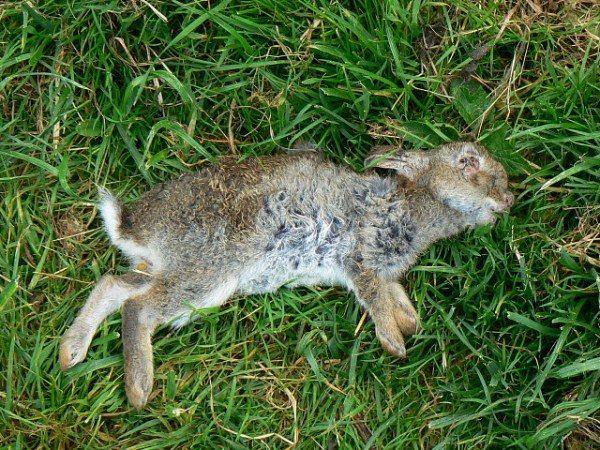 Мёртвый кролик