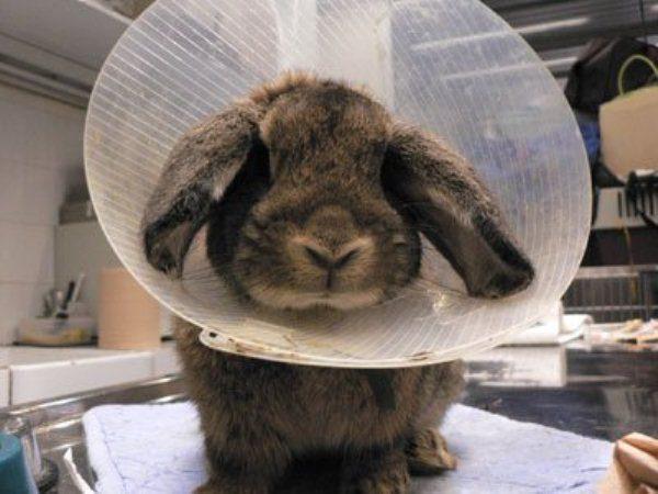 Кролик с обмороженными ушами
