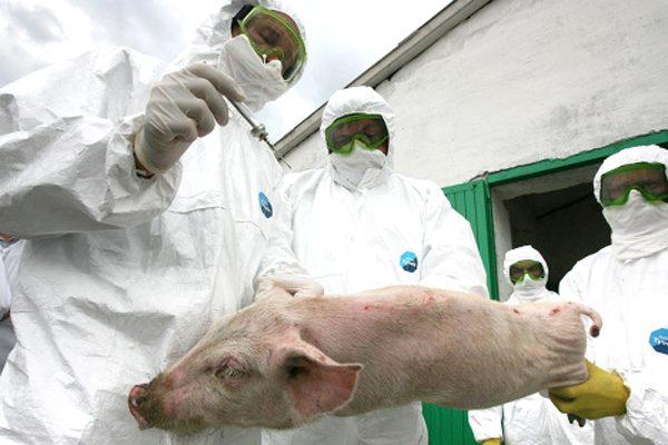 Лабораторные анализы свиней