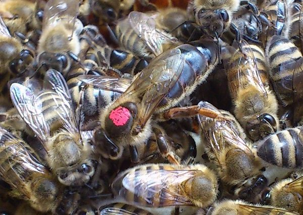 Помечивание пчеломатки