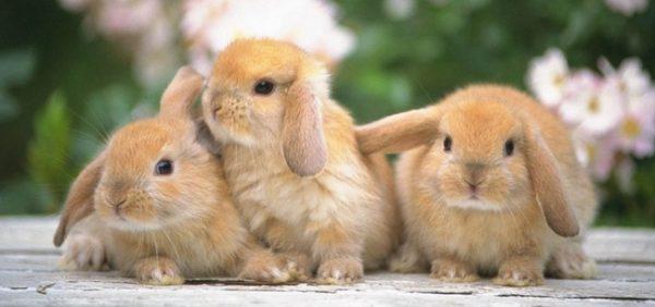 Выбор пород кроликов для разведения