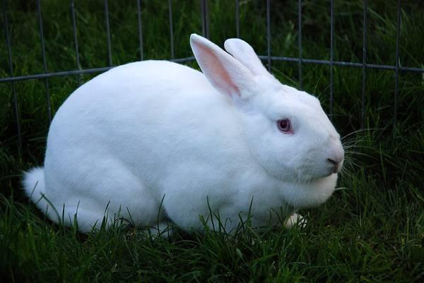Белый кролик в вальере