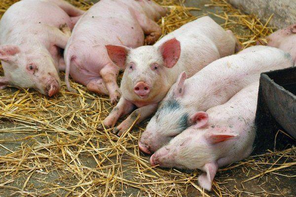 Свини лежат на земле