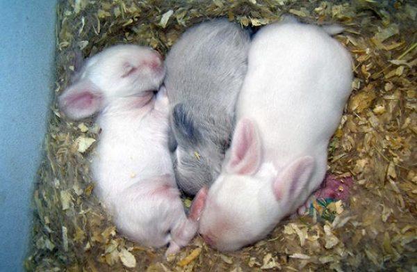 Слегка подросшие крольчата