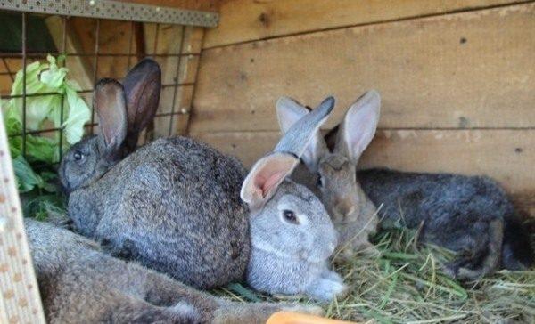 2-х месячные кролики