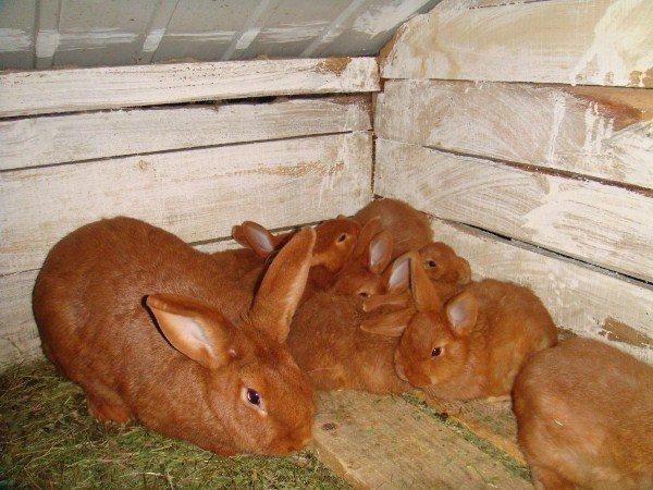 Кролик красный новозеландский