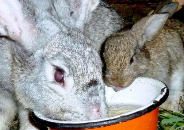 Кролик пьёт из миски
