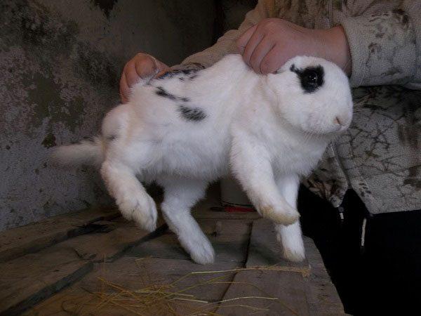 Выбор кролика для забоя