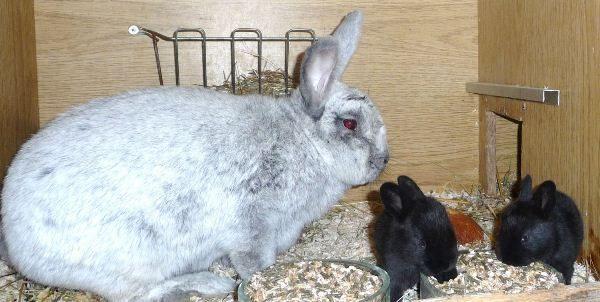 Черные крольчата с крольчихой