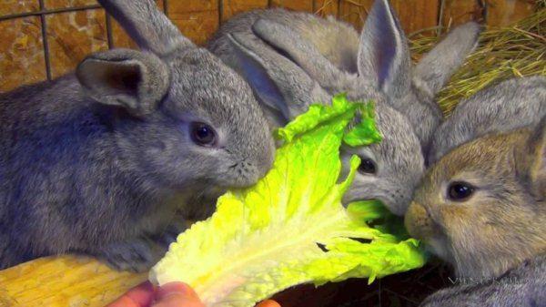 Крольчата едят капустный лист