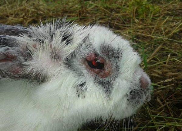 Начало болезни миксоматоза у кроликов