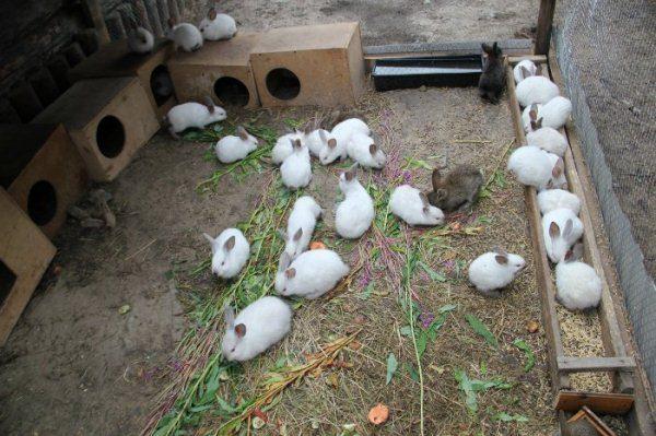 Кролики в вольере