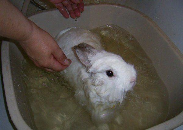 Купание карликового кролика
