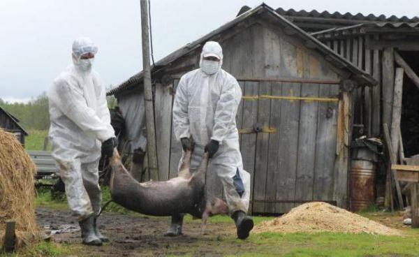 Изолирование больных свиней африканской чумой