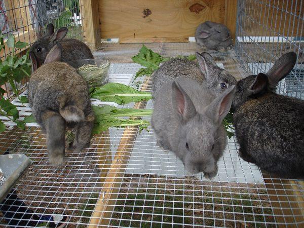 Организация кормления кроликов