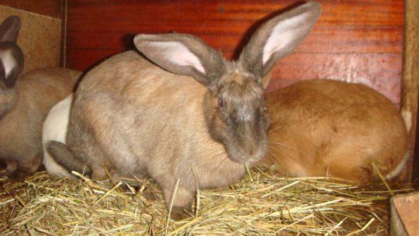 Беременная крольчиха в загоне