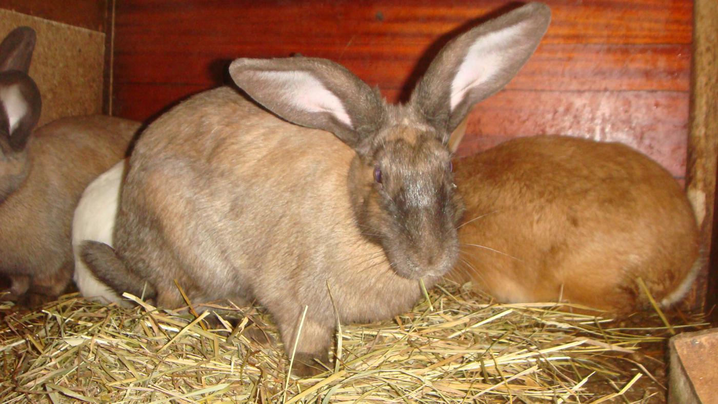 Кормить кроликов в беременность