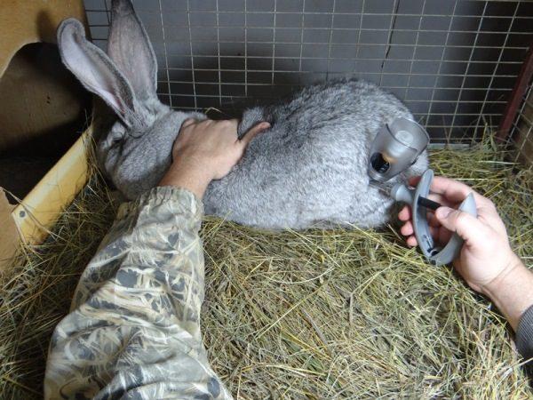 Инъектор для вакцинации кроликов.
