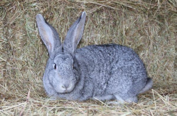 Советская порода кролика