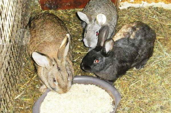 Зимнее кормление кроликов в загоне