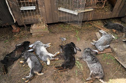 Больные кокцидиозом кролики