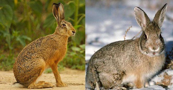 Основные отличия кролика и зайца