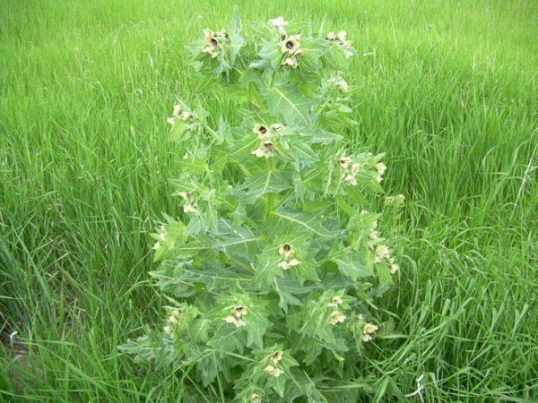 Токсичная трава белена