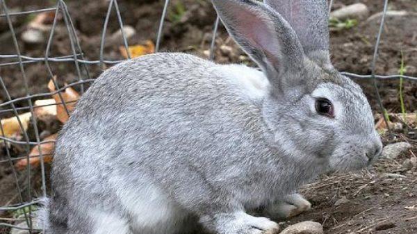 Серый кролик у стенки загона