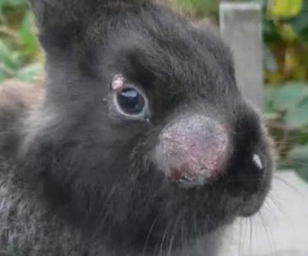 Вирусная геморрагическая болезнь кролей