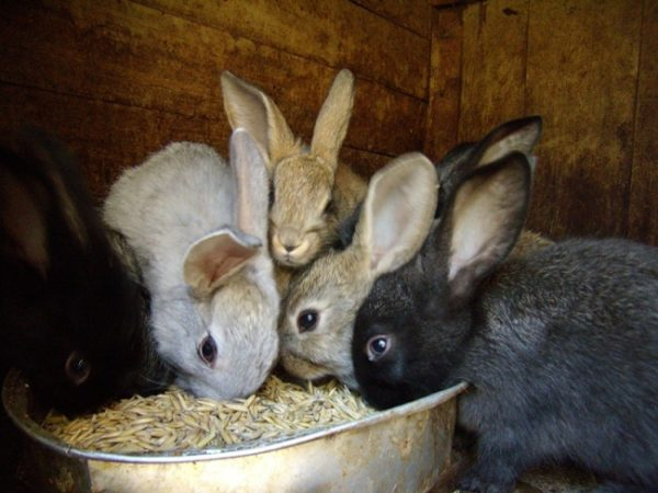 Организация процесса кормления кроликов
