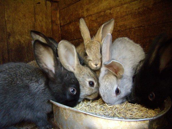 Кролики, поедающие овес