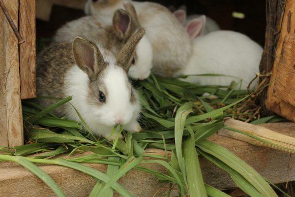 Кролики, поедающие зеленый корм.