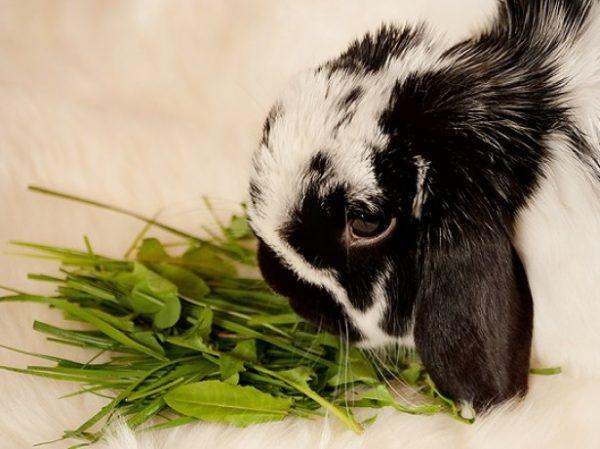 Кролик, поедающий зелень