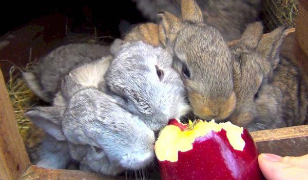 Кролики, поедающие яблоки