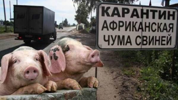 Карантин из-за африканской чумы свиней