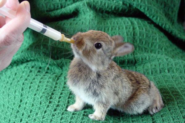 Лечение инфекций у детенышей кролика Трисульфоном