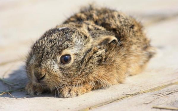 Трисульфон применяют для лечения инфекций и вирусов у кроликов