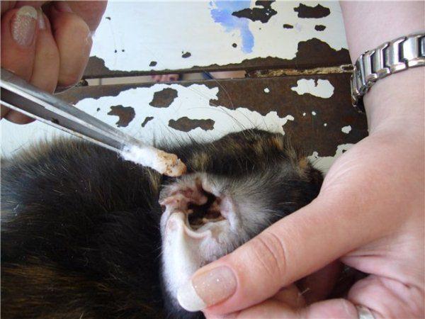 Обработка уха кролика