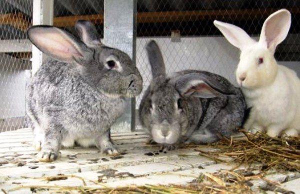 Взрослые кролики в загоне