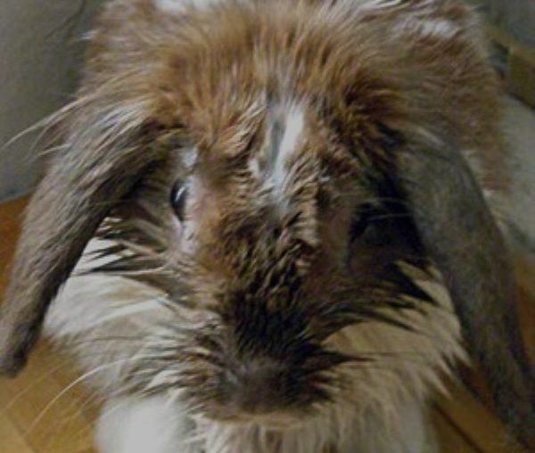 У кролика мокрая мордочка