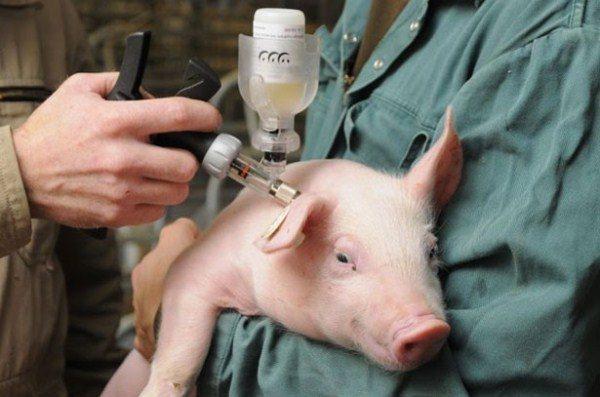Вакцинация против АЧС