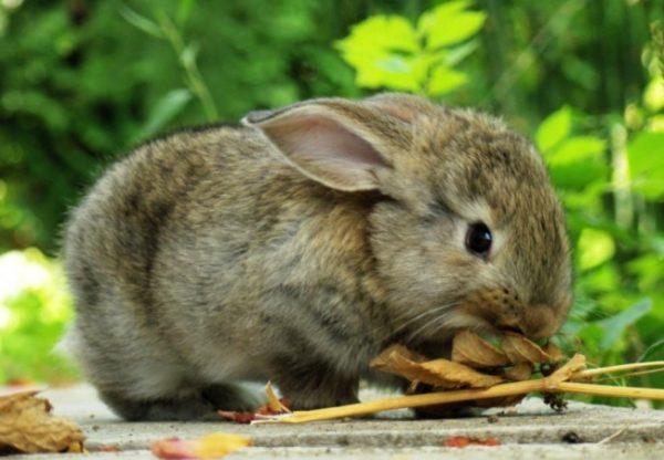 Кормление кролика на природе
