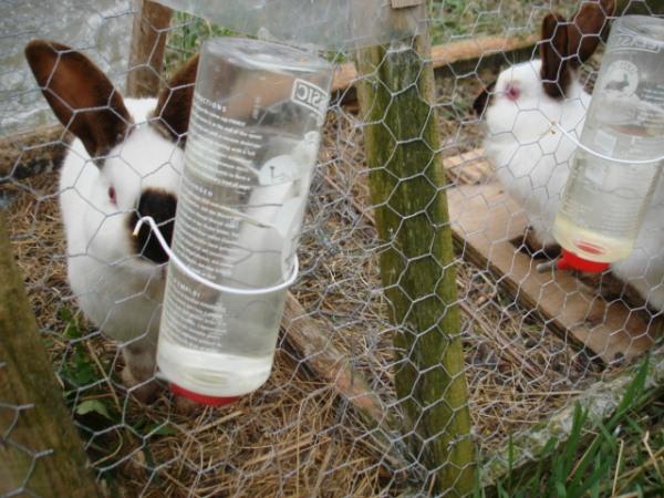 Кроли пьют из поилки