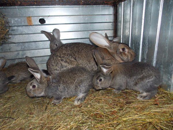Серые кроли в клетке