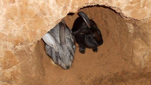 Кролик и крольчиха в норе