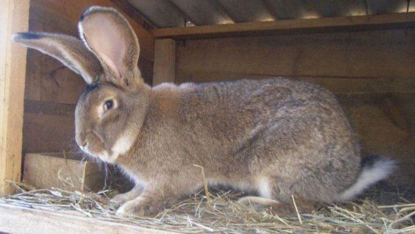 Кролики породы фландер
