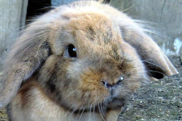 Причина ринита у кроликов - аллергия на сено